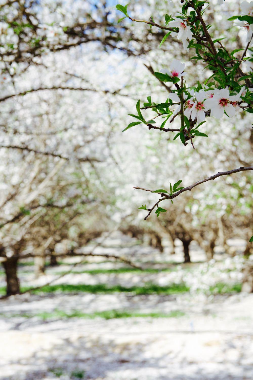 Almond blossoms in Central California