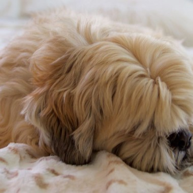 Lhasa apso on a soft blanket