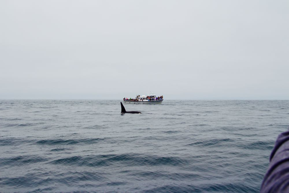 Amazing whale watching for orcas in Monterey Bay