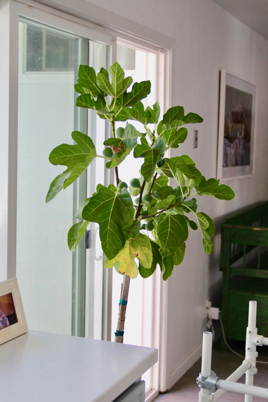 a real fig tree versus a fiddle leaf fig