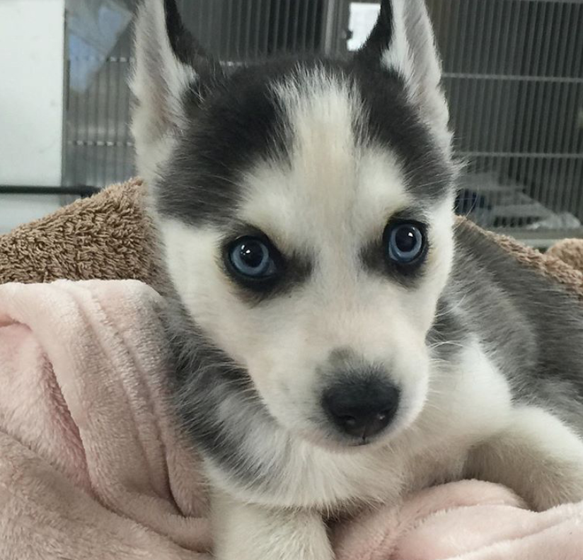 rescue husky puppy
