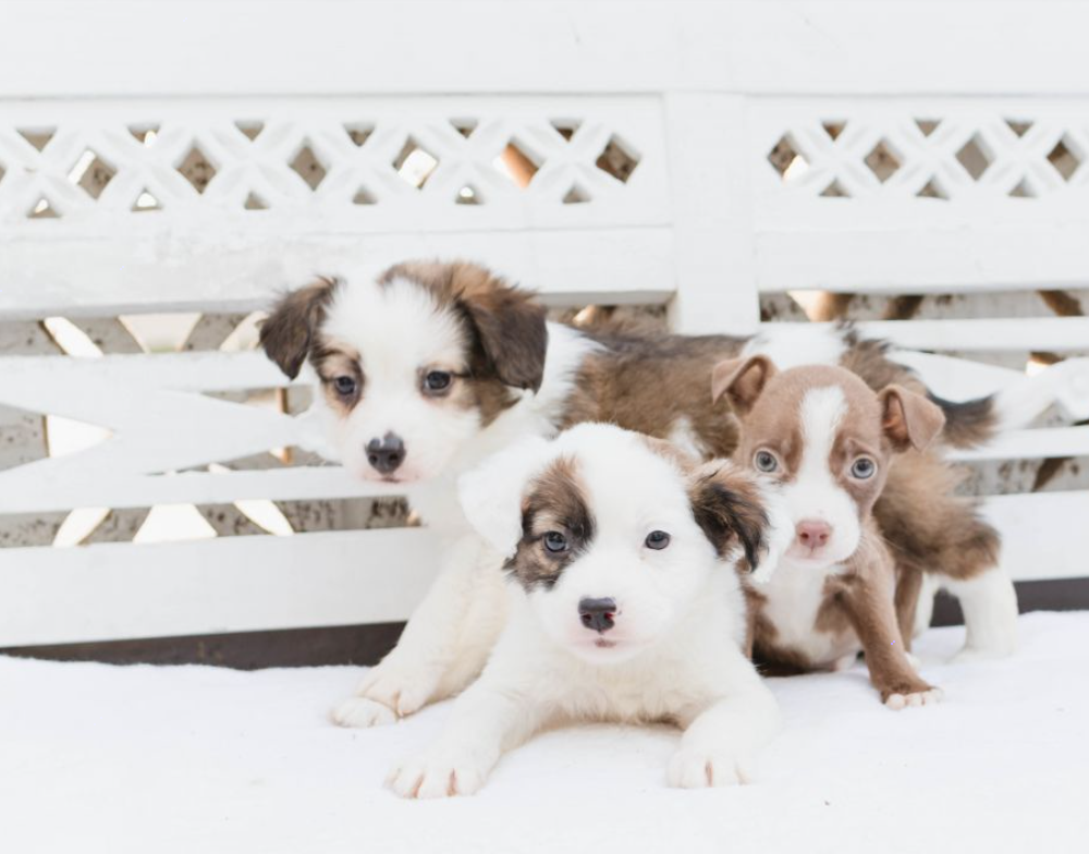 rescue Australian shepherd puppy